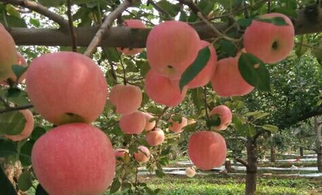 昌平崔村君利苹果采摘园