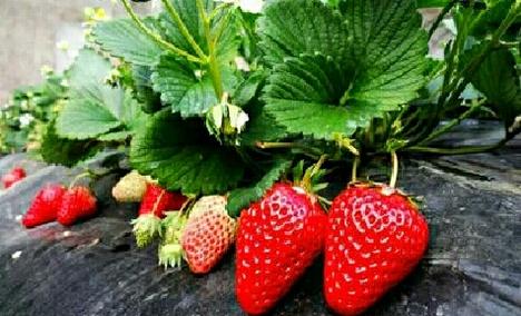 大顺家草莓采摘