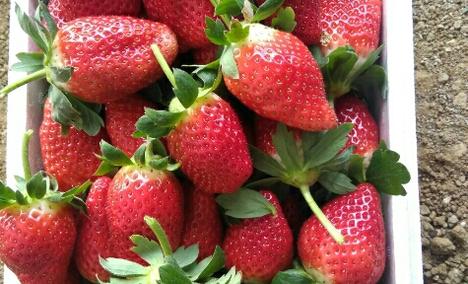 小崔草莓葡萄采摘园