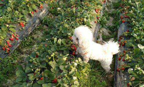 奶油草莓2斤 - 大图