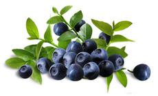 蓝色浪潮蓝莓采摘