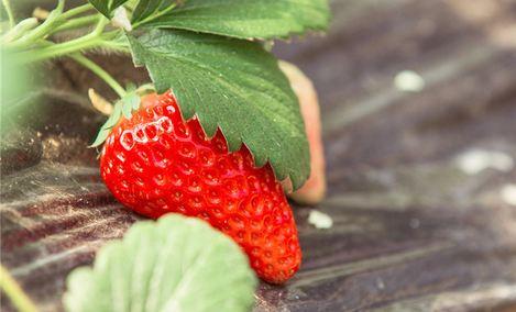 观西冬草莓采摘园