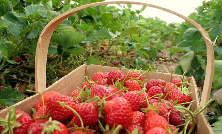 红慈草莓园