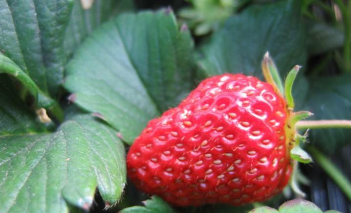 老罗草莓园