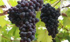 金冠果业采摘园温室葡萄