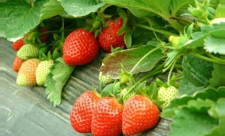 草莓部落(榆卜界基地分店)
