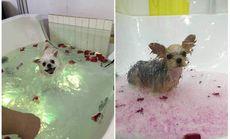 实丽派小型犬玫瑰慕斯SPA