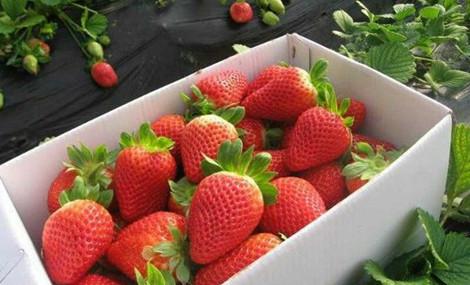 胶源大型草莓采摘园(胶北西小屯店)