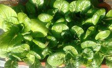 泰盈蔬果盆栽蔬菜一盆