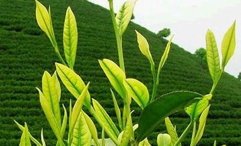 洪山坞茶场