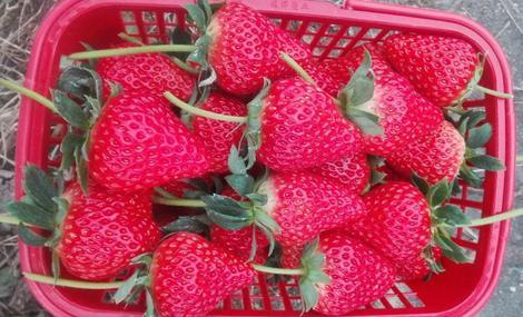 小石草莓园