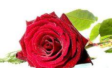 随心悦玫瑰花