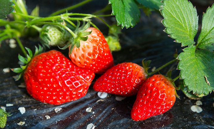 旅顺汇美园艺草莓园 - 大图