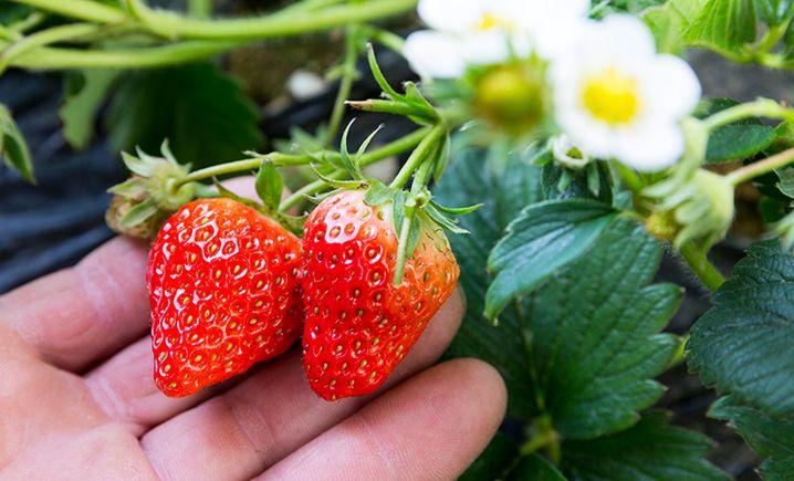 林林九九草莓采摘园