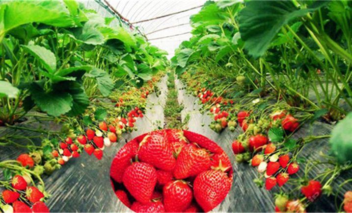红岩草莓葡萄生态采摘园