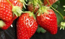 欢适园草莓采摘1斤