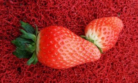 下沙奶油草莓种植园区