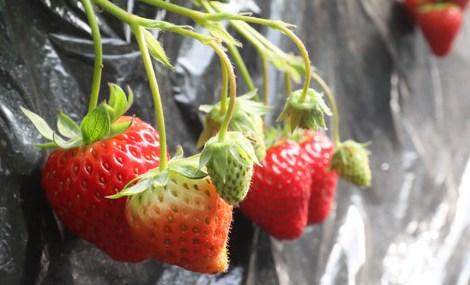 昌平草莓采摘园