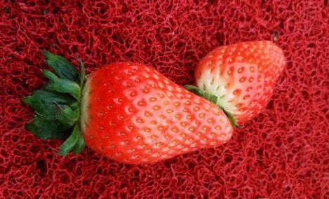 下沙草莓采摘园