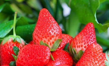 红石崖草莓蓝莓观光园