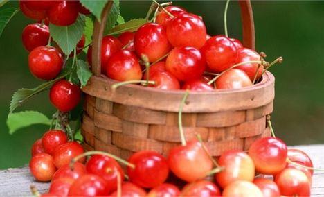 大红樱桃欢乐采摘