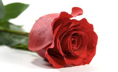 浪漫花屋单支玫瑰花
