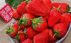 俊峰草莓园草莓采摘1斤