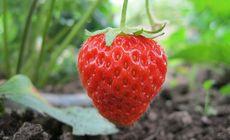 甜在心草莓采摘园1斤