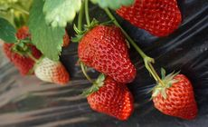 小郝草莓采摘采摘1斤