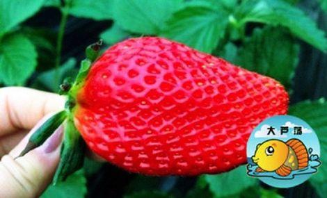 大芦荡草莓樱桃采摘园区 - 大图