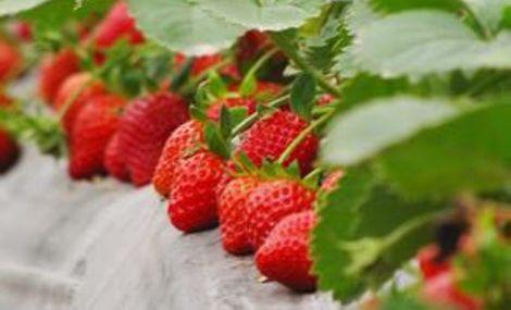 民主新村草莓采摘基地