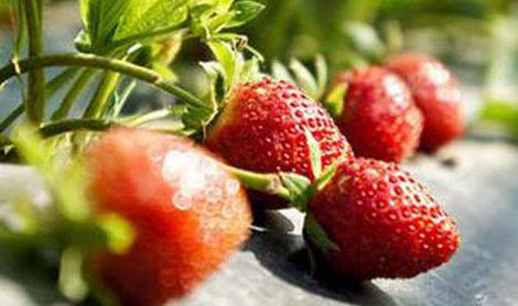 玉明奶油草莓采摘