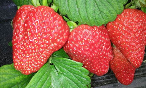 全新草莓采摘