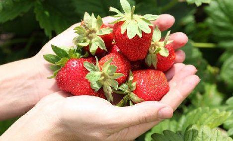 大场南辛庄香远草莓
