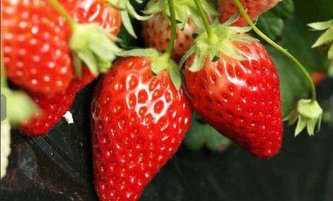 旅顺久久草莓采摘园