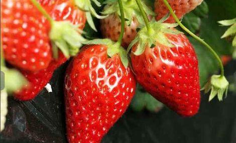 旅顺久久草莓采摘