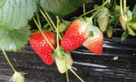 艳华草莓种植园