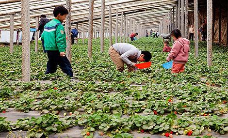 东丰现摘草莓园