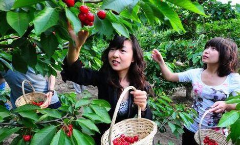 五峰山大樱桃采摘园
