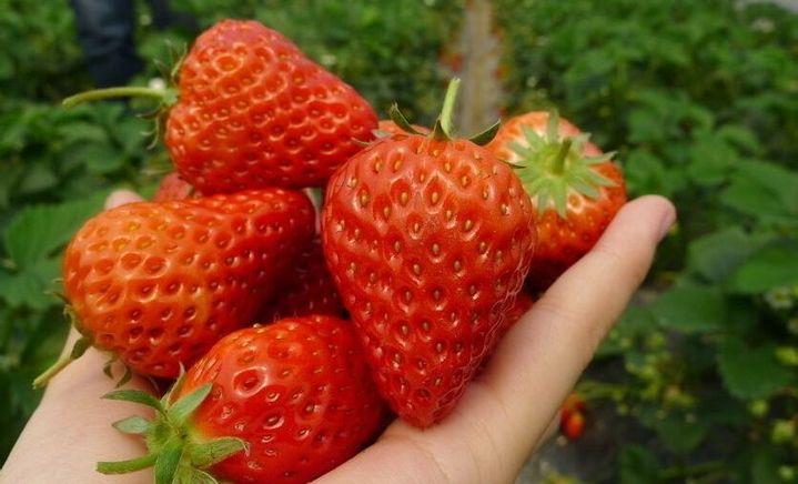 杰合鹏草莓种植中心