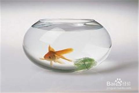 怎样在家里用简易鱼缸养金鱼?图片