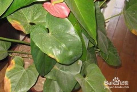 红掌叶子发黄干枯 叶子发黄干枯的原因分析及处理办法图片