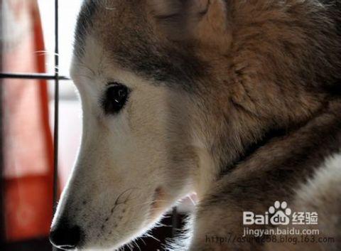 日狗的经验_介绍狗狗耳号刺青五个流程