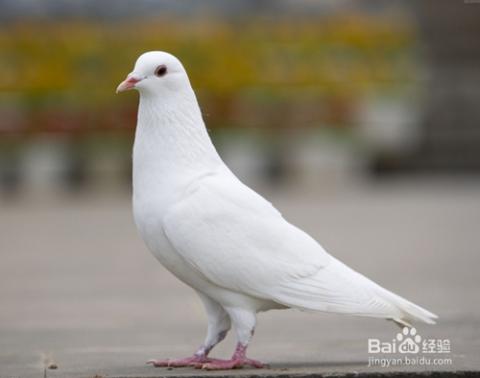 鸽子拉稀绿便是什么问题图片