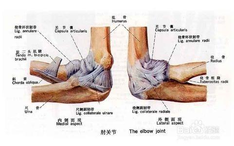 肘关节神经解剖图片
