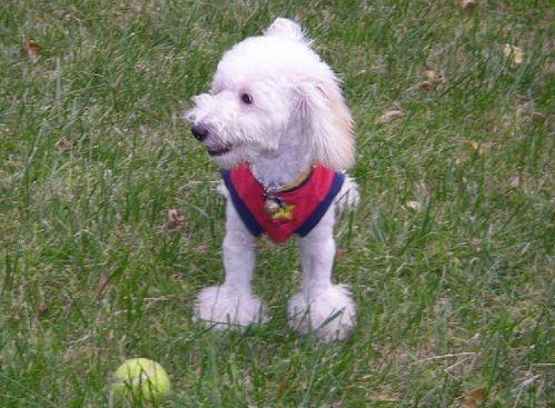 秋天养贵宾狗狗需要注意什么?
