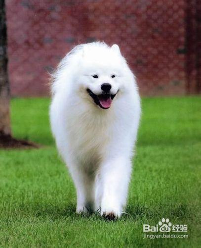 萨摩犬多大_萨摩犬多少钱