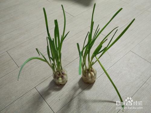 家里如何种植蒜苗?