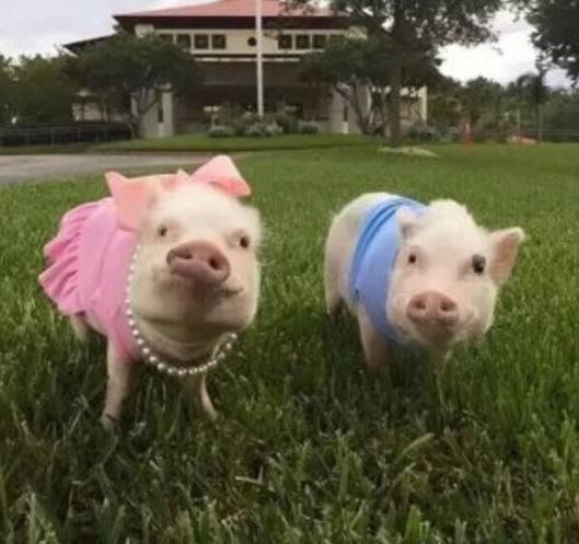 动物图集:可爱呆萌的宠物猪