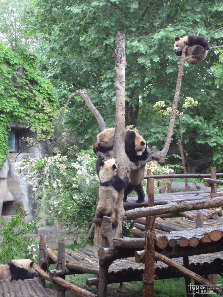 熊猫——45度忧郁仰望天空-成都都江堰乐山峨眉黄龙九寨重庆大足
